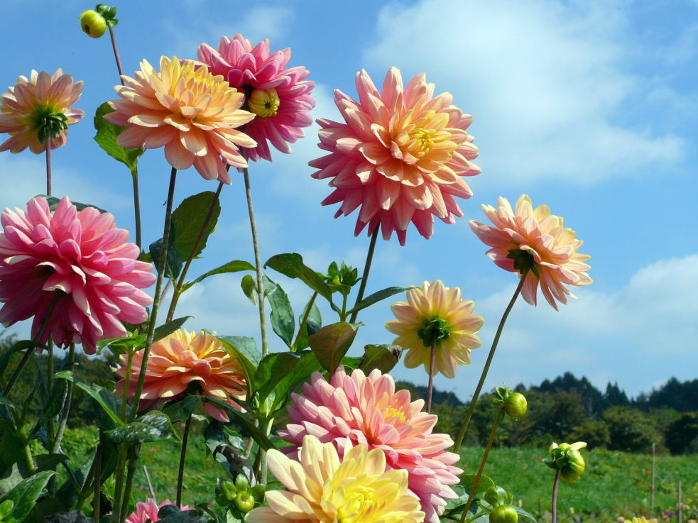10月11日の誕生花は\u201c花の女王ダリア\u201d、花言葉もその豪華な姿から栄華、優美とか~。写真は花パークフィオーレ小淵沢のダリアです。